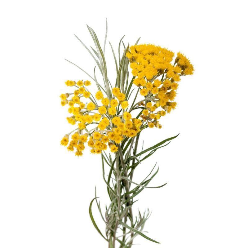 Eau florale d'Hélichryse