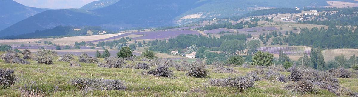 Récolte de lavande dans la Drôme